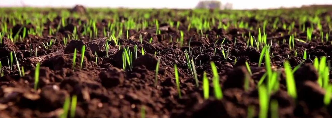 Обработка пшеницы перед посевом